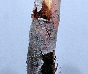 علل ترکیدن پوست تنه درختان میوه