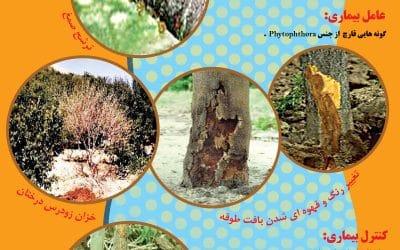 پوسیدگی طوقه درختان میوه